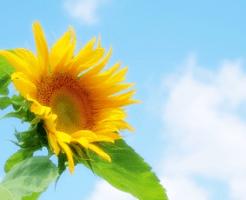 向日葵の花と青空