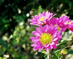 紫色の菊の花