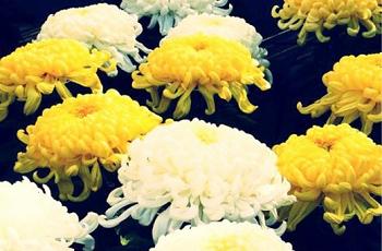 黄菊と白菊