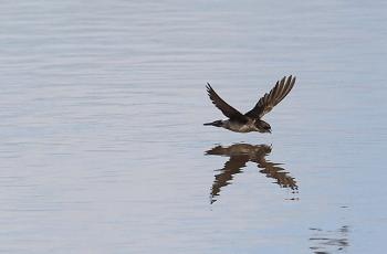 水面近くを飛ぶツバメ