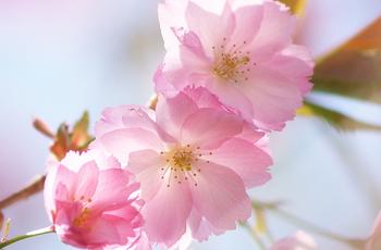 八重桜の花