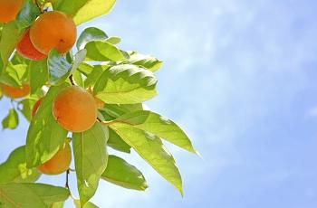 柿の実と青空