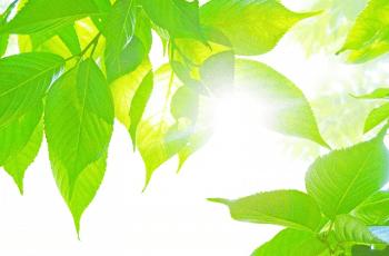 日の光を受ける緑葉
