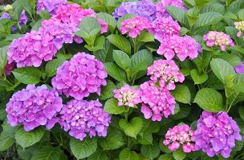 紫色とピンク色の紫陽花