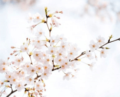 明るく輝くような桜の花