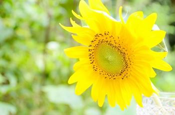 向日葵の花のアップ