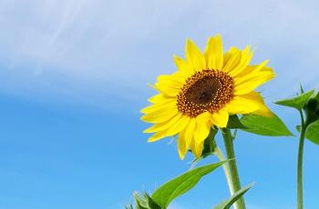 力強く咲いている向日葵