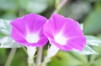 紫色の朝顔の花