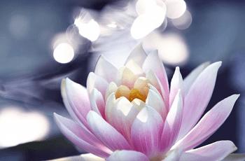 輝いている蓮の花