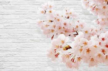 ピンク色の桜の花と建物の白い壁