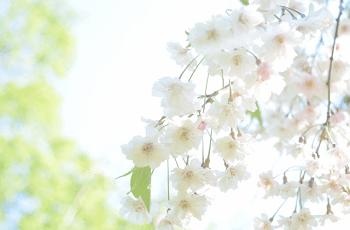白い糸桜の花