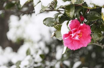山茶花の花と雪