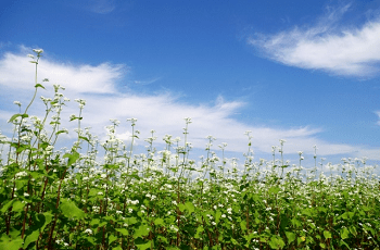 蕎麦畑と空の雲