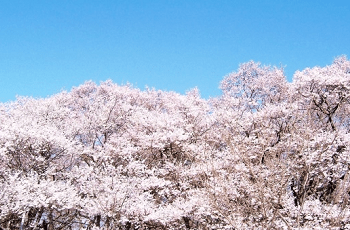 満開の桜の花と青空
