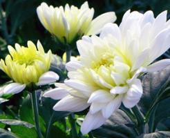 白菊と黄菊の花