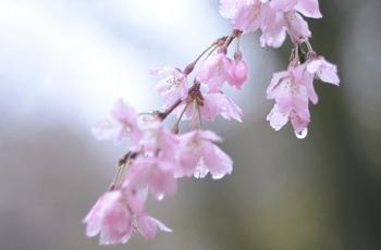 雨の雫をためた桜の花