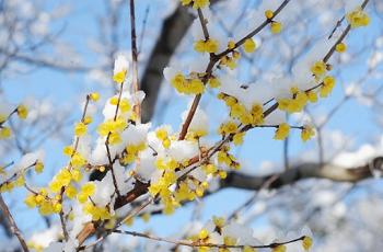蝋梅の花に積もった雪