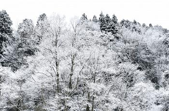 雪に覆われた林の木々