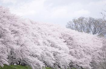 雲のように見える満開の桜