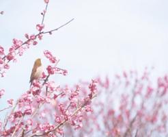 鶯と梅の花と青空