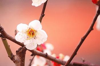 灯りに照らされている白梅の花