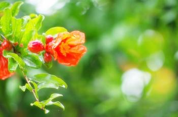 雨に濡れる石榴の花