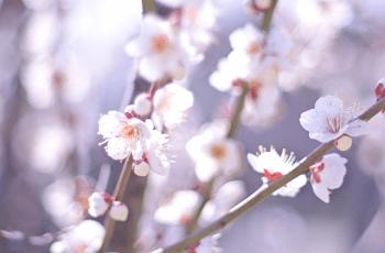 日を浴びる白い梅の花