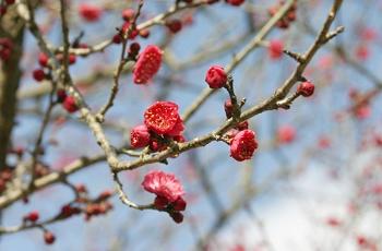 花が開き始めた紅梅