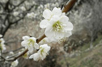 開花した白梅