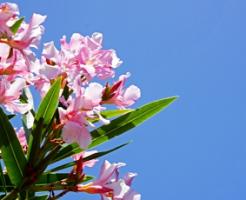 夾竹桃の花と青空