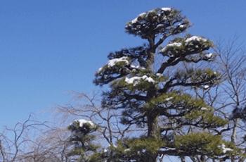 雪が積もった松の木