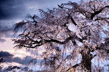 紫色に映える夜桜