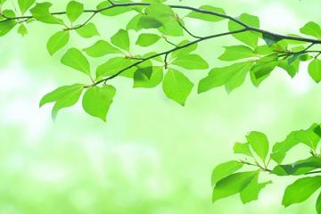 透き通るような緑の葉