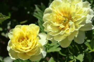 黄色い牡丹の花