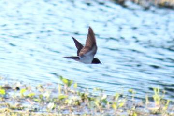 水辺を飛ぶ燕