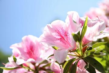 薄いピンク色の躑躅の花