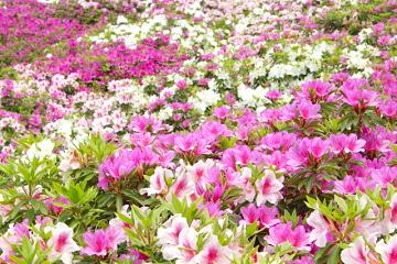 様々な色の躑躅の花