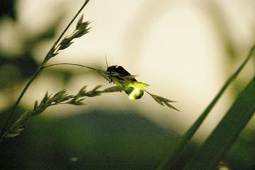 草に止まって光っている蛍