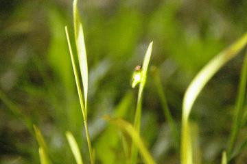 庭の草に止まっている蛍