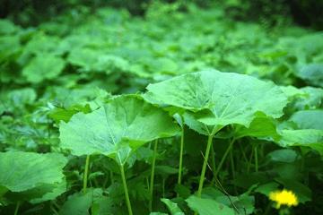 群生している蕗の葉