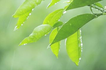 雨に濡れる緑の葉