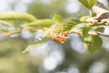 木の葉の蝉の抜け殻