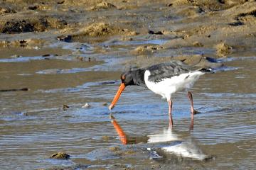 川瀬で餌を探している都鳥