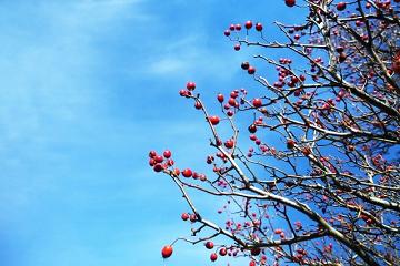 冬の青空と赤い実がなっている木