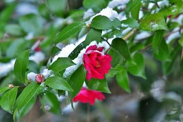 雪の中の椿の花