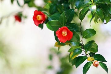 小さな椿の花