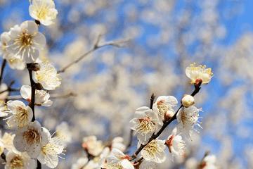 早春の白い梅の花