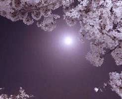 朧月と桜の花