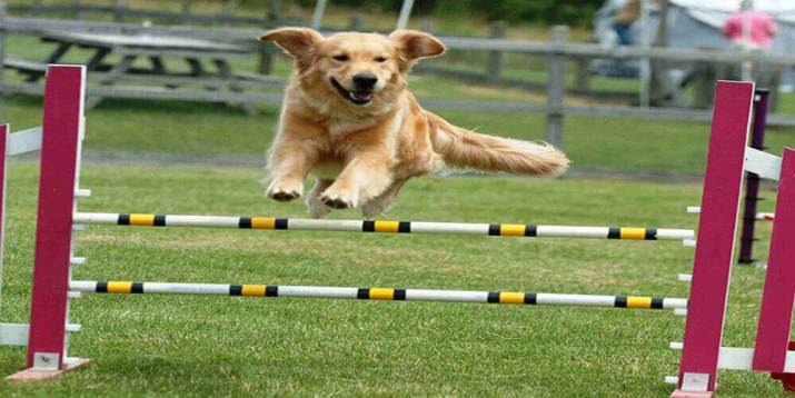 Dog Athletic Performance