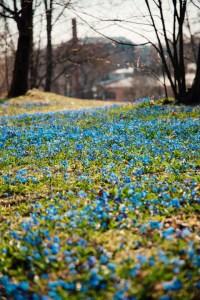 Kevään kukkia. Kuva: Jussi Hellsten / Helsinki Marketing